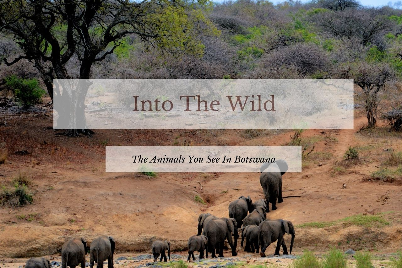 Into The Wild: The Animals You See In Botswana