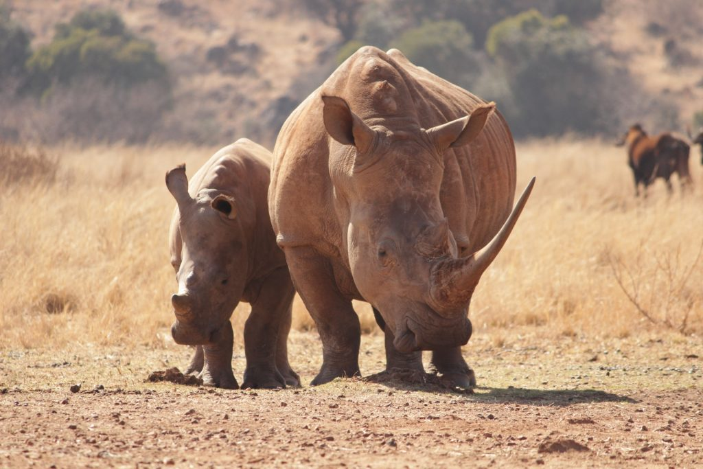 Two Rhinoceros Walking On Brown Field